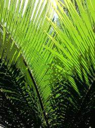 cycas-vert-juillet-2010.jpg